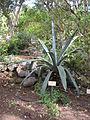 Agave americana - Jardin d'Éden.JPG