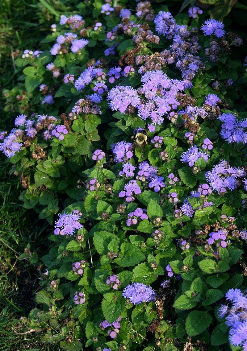Ageratum houstonianum (alverson) .jpg
