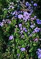 Ageratum houstonianum (alverson).jpg