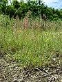 Agrostis stolonifera sl8.jpg