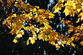 Ahornblätter (Acer) im Herbst.jpg