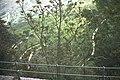 Ailanthus altissima-3389.jpg