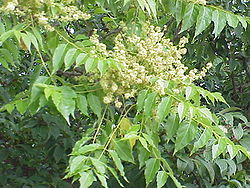 meaning of ailanthus