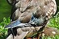 Aix galericulata (Küken) - Nymphenteich Zürichhorn 2011-06-10 16-35-32.jpg
