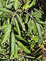 Alangium salviifolium 02.JPG