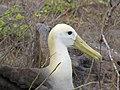 Albatross birds - Espanola - Hood - Galapagos Islands - Ecuador (4870998385).jpg