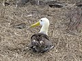 Albatross birds - Espanola - Hood - Galapagos Islands - Ecuador (4871667154).jpg