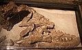 Albertosaurus holotype.jpg