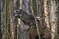 Alces alces 12(js), Biebrza National Park (Poland).jpg
