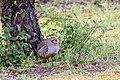 Alectoris rufa, Amboise, Indre-et-Loire, France 5.jpg