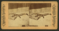 Alligator, Florida, from Robert N. Dennis collection of stereoscopic views.png