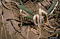Allium cepa with Erwinia carotovora subsp. carotovora (14).jpg