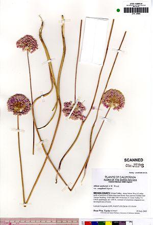 Allium sanbornii - Image: Allium sanbornii congdonii