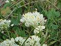 Allium subvillosum 1.JPG