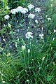 Allium tuberosum kz1.jpg