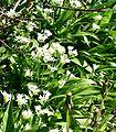 Allium ursinum ENBLA08.jpg
