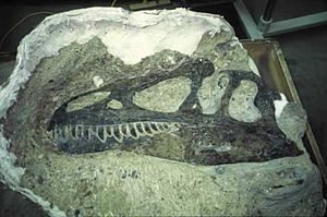 """Species of Allosaurus - Skull of A. """"jimmadseni"""" (DINO 11541) from Dinosaur National Monument, when it was still partially encased in matrix"""