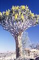 Aloe dichotoma (5164620934).jpg
