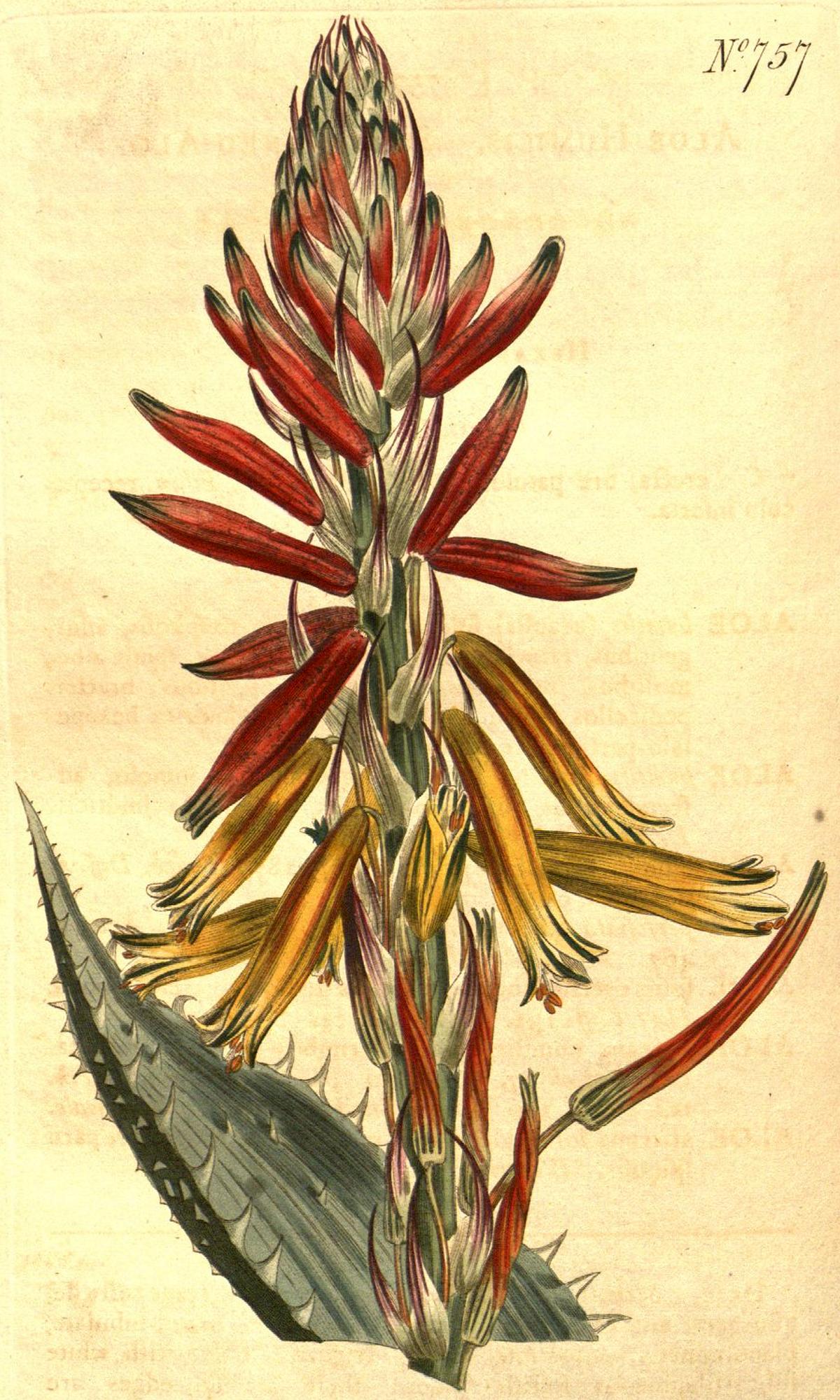 Aloes zwyczajny  Wikipedia wolna encyklopedia