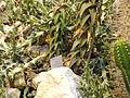 Aloe pearsonii - Palmengarten Frankfurt - DSC01754.JPG
