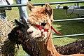 Alpaca - geograph.org.uk - 482712.jpg