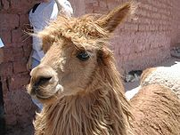 An alpaca in Cusco, Peru