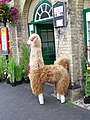 Alpaca outside the Town Hall - geograph.org.uk - 890158.jpg