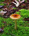Amanita amerifulva Nicholas T - Orange.jpg