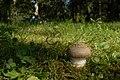 Amanita pantherina (29543449884).jpg
