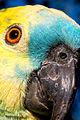 Amazona aestiva -pet -head-8.jpg