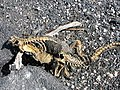 Amblyrhynchus cristatus 7zz.jpg
