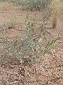 Ambrosia acanthicarpa kz08.jpg