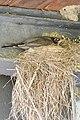 American Robin (Turdus migratorius) on Nest - Norfolk County, Ontario 2019-06-09.jpg