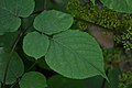 American Spikenard (Aralia racemosa) - Saratoga Springs, New York 2015-08-22 (03).jpg