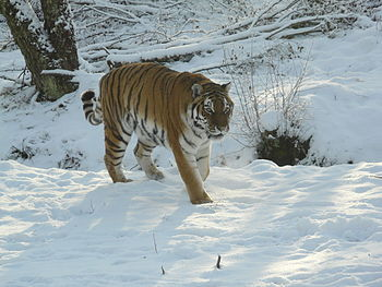 English: Amur Tiger at Highland Wildlife Park ...