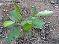 An Almond sapling.JPG