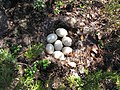 Anas platyrhynchos nest with eggs.jpg