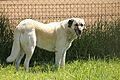 Anatolian Shepherd Dog.jpg