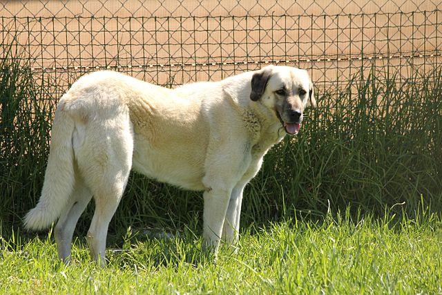 Anatolisk herdehund