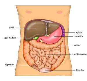 Abdomen - The human abdomen and organs which can be found beneath the surface