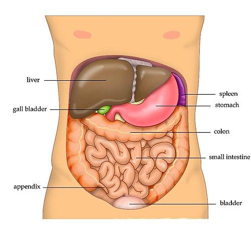 500px-Anatomy Abdomen Tiesworks