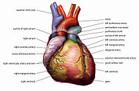 анатомическое сердце на открыток не помещают