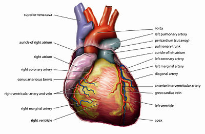 Science an elementary teachers guidethe human body the the heartedit ccuart Image collections