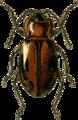 Ancylopus melanocephalus Jacobson.png