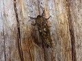 Andeabatis chilensis.jpg