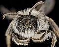Andrena frigida, male, face 2012-08-02-18.29.27 ZS PMax (8192929669).jpg