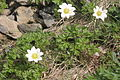Anemone baldensis (Baldo-Windröschen) IMG 8121.jpg