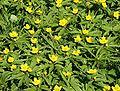 Anemone ranunculoides 030405a.jpg