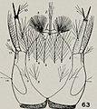 Anopheles walkeri larva head.jpg