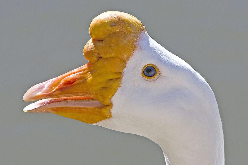 -منقار-عجیب-پرنده--http://nexusgallery.mihanblog.com/-File:Anser cygnoides.jpg